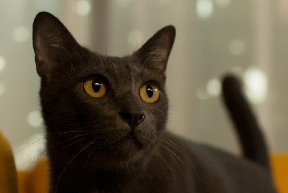 มีแมวดำต้องมีไทโรซีน